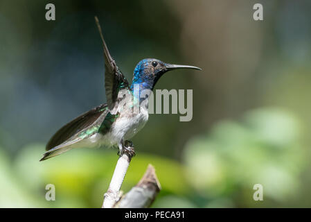 Hummingbird taking off from a branch, Mindo Cloud Forest, Ecuador - Stock Image