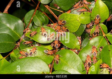 An infestation of Milkweed Bugs (Spilostethus sp) on foliage, Mount Surprise, Queensland, QLD, Australia - Stock Image