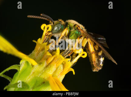 Metallic green bee (Agapostemon sp), collecting nectar from a small-headed sunflower (Helianthus microcephalus), Pickens, South Carolina, USA, August. - Stock Image