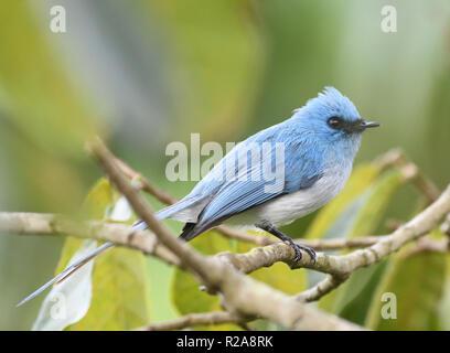 African blue flycatcher or blue-crested flycatcher (Elminia longicauda). Bwindi Impenetrable National Park, Bwindi,  Uganda. - Stock Image