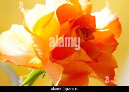 A Single Orange Rose - Fascination in the Language of Flowers  Jane Ann Butler Photography JABP1780 - Stock Image