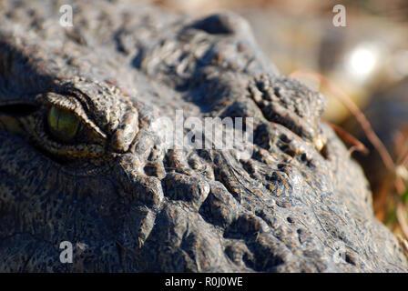 Close out crocodile's eye Botswana - Stock Image