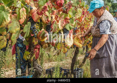 Woman in the vineyard picking black grapes - Stock Image