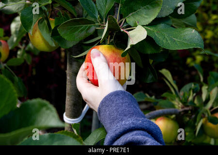 Dundee, Tayside, Scotland, UK. 2nd October, 2018. UK weather: The warm weather continues into  October with temperatures reaching 14º Celsius. A woman is harvesting organic home grown James Grieves apples inside her garden in Dundee Scotland. Credits: Dundee Photographics / Alamy Live News - Stock Image