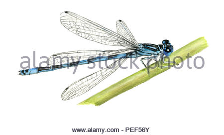helm-azur-jungfer coenagrion mercurial dragonfly - Stock Image