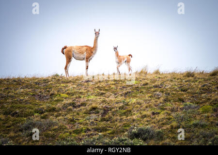 Mother and baby Guanaco in Patagonia, Chile - Stock Image