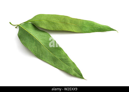 Dried eucalyptus leaves isolated on white background - Stock Image