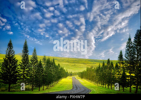 Main Road on Lanai lined with Cook Island Pines. Lanai, Hawaii - Stock Image