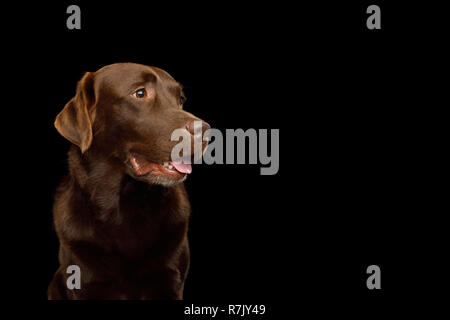 Funny Portrait of Happy Labrador retriever dog Looking up on isolated black background, front view - Stock Image