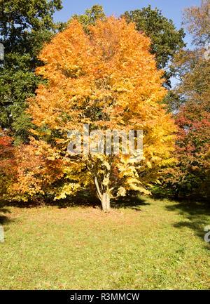 Japanese maple tree, Acer Palmatum,, National arboretum, Westonbirt arboretum, Gloucestershire, England, UK - 'Eddisbury' - Stock Image