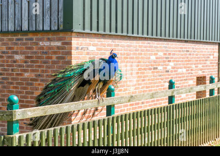 Colourful Peacock, Tropical Butterfly House, Sheffield, Nature - Stock Image