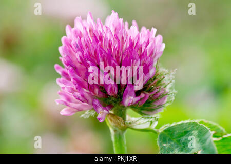 Red Clover (trifolium pratense), close up of back lit flower. - Stock Image