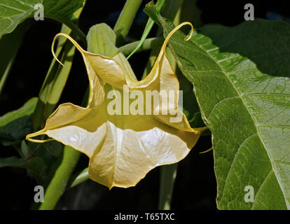 Brugmansia (Angels Trumpets) - Stock Image