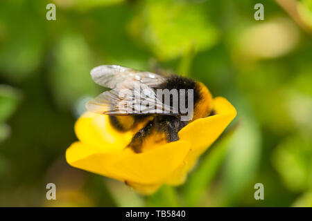 Creative focus macro photograph of Buff tailed bumblebee feeding on Buttercup flower side-on. Only wing in focus. - Stock Image