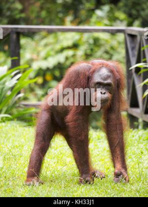 Bornean Orangutan (Pongo pygmaeus) at Orangutan Rehabilitation Centre, Sepilok, Sabah, Borneo, Malaysia - Stock Image
