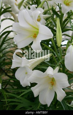 Easter Lilies Lilium longiflorum Liliaceae lily white - Stock Image