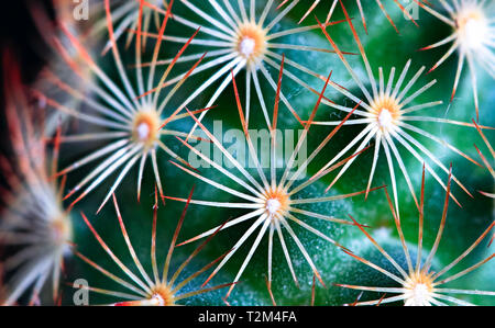 A small green cactus with bright orange spines is photographed up close in high detail. - Stock Image
