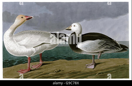 Snow Goose, Anser caerulescens, birds, 1827 - 1838 - Stock Image