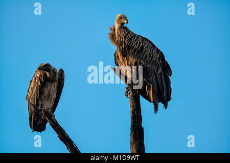 Two wild Indian Vultures, Perched in Bandhavgarh National Park, Madhya Pradesh, India - Stock Image