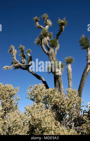 Many Branches Joshua Tree Yucca Brevifolia Mojave Desert Joshua Tree National Park California - Stock Image
