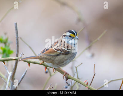 A beautiful White-throated Sparrow (Zonotrichia albicollis) sits on a briar - Stock Image