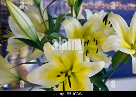 lily, Liliaceae, plant  classified in the division Magnoliophyta, class Liliopsida, order Liliales, family Liliaceae - Stock Image