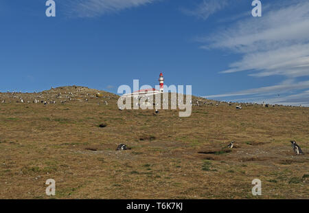 Magellanic Penguin (Spheniscus magellanicus) colony below lighthouse  Isla Magdalena, Chile              January - Stock Image