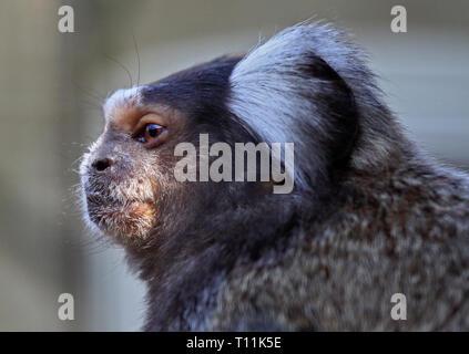 Geoffroys Marmoset/White Headed Marmoset (callithrix geoffroyi) - Stock Image