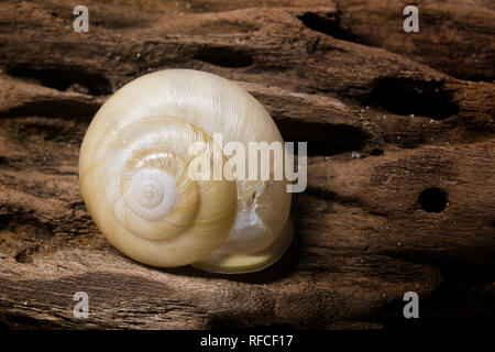 Snail shell found on the beach at Fort Morgan, Alabama. - Stock Image