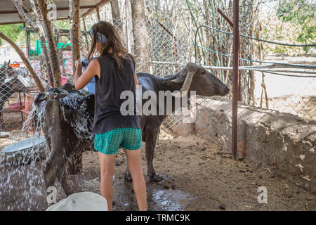 Buffalo getting washed by a female volunteer at a animal rescue center in India. - Stock Image