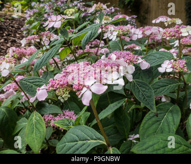 Lacecap hydrangea macrophylla Mariessi Perfecta, normally blue, but here in pink due to soil alkalinity. - Stock Image