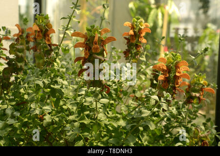 beautiful orange sage blooming in botanical garden in bavaria, salvia repens orange colored flowers in a glass house in late spring - Stock Image