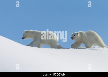 Two young playing bears - Stock Image