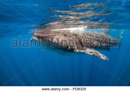 Holbox (Mexico) : whale shark - Rhincodon typus - Stock Image