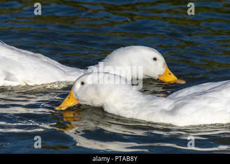 Close up portrait of domestic pekin ducks (Anas platyrhynchos domesticus) feeding in the wild - Stock Image