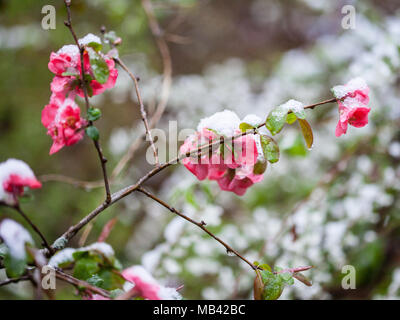 Colorful Quince flowers blooming in early spring with snowfall - Stock Image