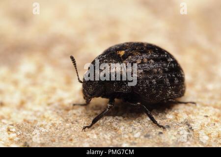 Pill Beetle (Cytilus sericeus) sitting on sandstone. Tipperary, Ireland - Stock Image
