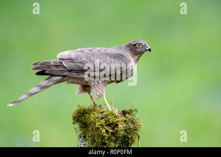 Young Sparrowhawk (Accipitor nisus) on a mossy tree stump, Scotland - Stock Image