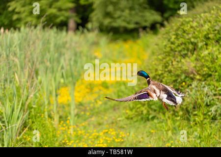Wildlife action portrait of Male Mallard duck taking flight in profile on lush green background. Taken in Dorset, England. - Stock Image