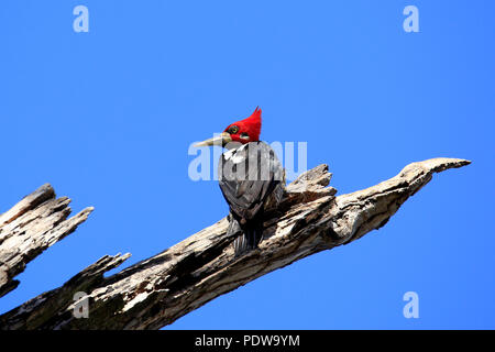 Crimson-crested Woodpecker (Campephilus melanoleucos) on a Branch. Pantanal, Brazil - Stock Image