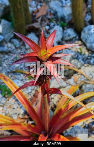 Bromeliads. Botanical garden. Rio de Janeiro. Brazil - Stock Image