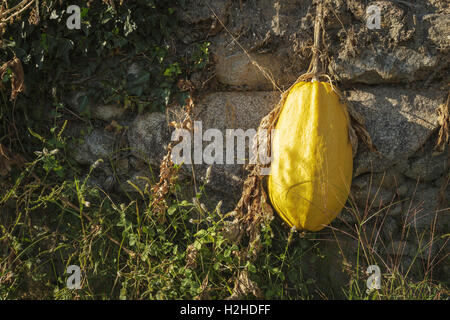 SIngle yellow pumpkin hanging over a wall - Pumpkin portraits in Autumn, Portugal - Stock Image