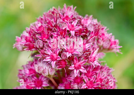 Orpine (sedum telephium), also known as Livelong, a close up a single flower head. - Stock Image