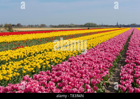 Lisse, Holland - April 18, 2019: Traditional Dutch tulip field with rows of pink, red and yellow flowers and church towers in the background - Stock Image