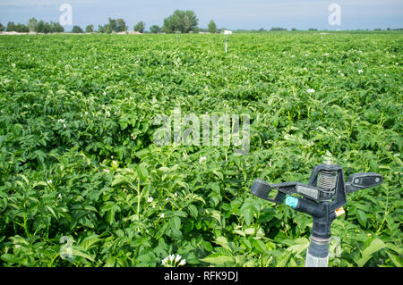 Potato field in blossom. Water pivot sprinkler stopped at the forefront. Extremadura, Spain - Stock Image