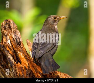 Blackbird on old Log - Stock Image