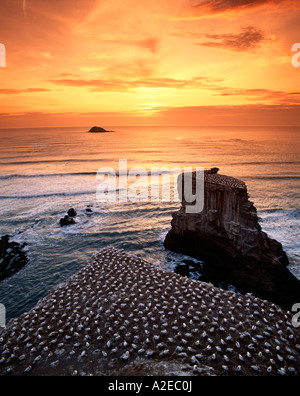new zealand gannet colony at muriwai beach gannet fly from Muriwai to australia and come back - Stock Image