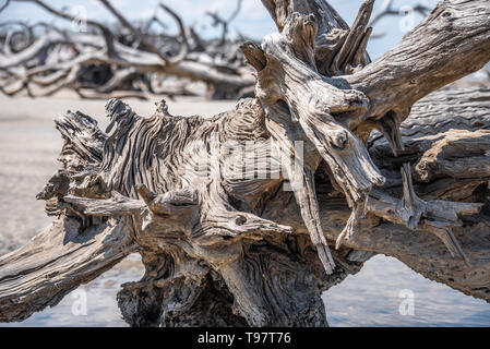 Gnarled, sun-bleached driftwood on Jekyll Island's Driftwood Beach on the Atlantic Coast of Southeast Georgia. (USA) - Stock Image
