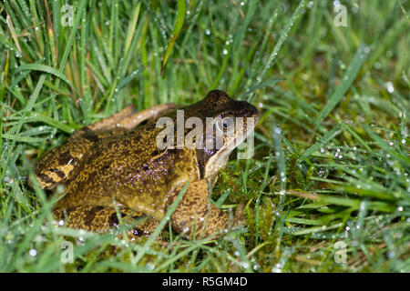 Common Frog, Rana temporaria, female on way to breeding pond in rain and wet grass, February - Stock Image