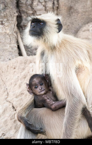 Mother and baby Gray Langurs or Hanuman Langurs, Semnopithecus, Bandhavgarh National Park, Tala, Madhya Pradesh, India - Stock Image